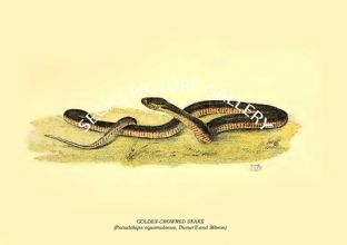 GOLDEN-CROWNED SNAKE - (Pseudelaps squamulosus, Dumeril and Bibron)